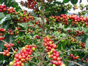 Giá cà phê Đà Lạt